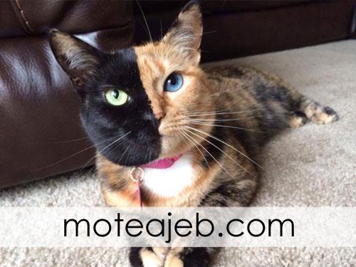 عجیب ترین گربه جهان